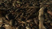 Mass Fish Die Off  Lots  Dead Fish On Beach Ningaloo Reef Western Australia