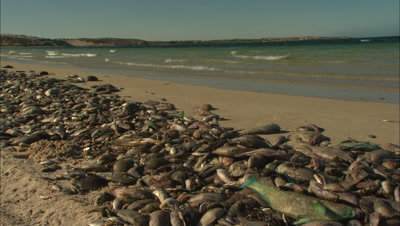 Mass Fish Die Off Lots Dead Fish On Beach Ningaloo Reef Western Australia