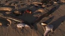 Dead Moray Eels On Beach With Dead Fish Ningaloo Reef Western Australia