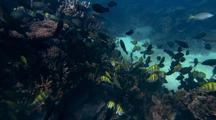 Convict  Surgeonfish ( Acanthurus Triostegus ) And Juvenile Parrotfish ( Family Scaridae) Group Feeding Behavior