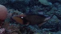 Giant Or Titan Triggerfish Feeding On Coral