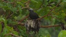 Nesting Seabird,Possibly Noddy Tern
