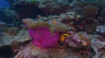 Pink Anemonefish on host anemone