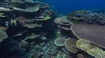 Gliding Over Plate Coral Dominant Reef