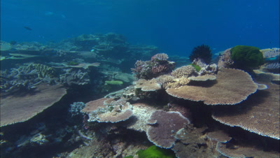 Gliding Over Plate Coral Dominant Reef Through Firetail Fish