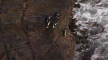Rockhopper Penguins Jump Into Water From Rocks