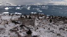 Gentoo Penguin Nesting Colony