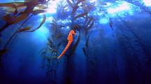 Seahorse Swimming In Tall Kelp Forest