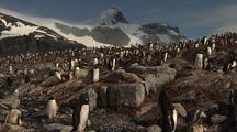 Gentoo Penguins On Rocky Shoreline