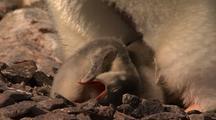 Newborn Gentoo Penguin Chick