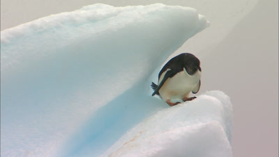 Adelie Penguin On Ice