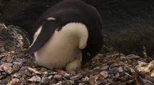 Adelie Penguin Tends Egg