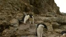 Funny Adelie Penguins Walk On Precarious Path