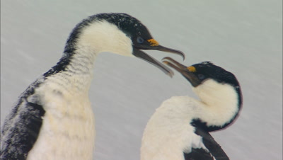 Blue Eyed Shags Court In Heavy Snow