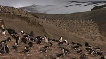 Chinstrap Penguins Nesting Colony Up High