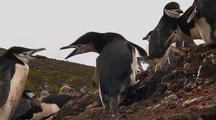 Chinstrap Penguins Fight