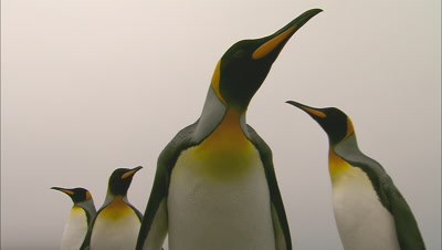 Funny King Penguins Investigate Camera