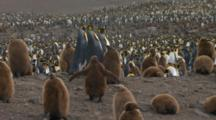 King Penguins And Chicks