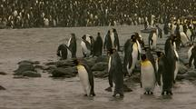 King Penguins Along Shore