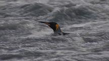 King Penguin Swims In The Rapids