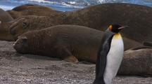 Funny King Penguin Walks By Resting Elephant Seals