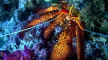 Hermit Crab, Macro