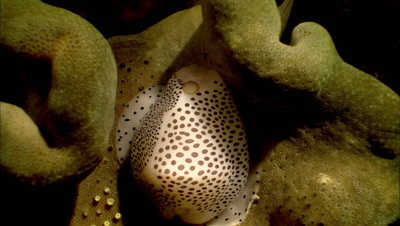 Cowrie Snail On Soft Coral, Macro