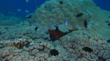 Regal Angel Fish ( Pygoplites Diacanthus ) Over Coral Outside Hiding Hole