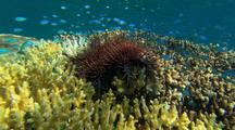 Crown Of Thorns Sea Star & Chromis Fish On Coral