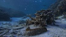 Sea Cucumber  (Beche De Mer) In Shallow Water