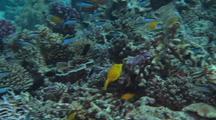 Juvenile Yellow Boxfish Among Coral