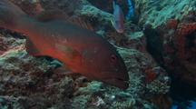 Red Coral Cod lurking