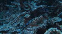 Lizard fish pair hiding among rocks