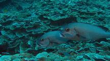 Sweetlip fish pair