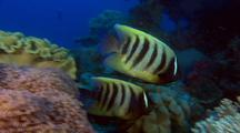 Leafy Scorpionfish Pair & Six Banded Angelfish Couple ( Pomacanthus Sextriatus ) Over Colorful Deep Water Coral