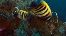 Six Banded Angelfish ( Pomacanthus Sextriatus ) Couple