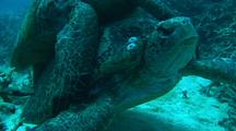 Green Turtles mating Pair