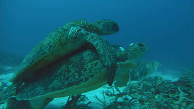 Green Turtles Mating