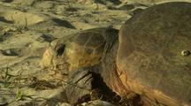 Loggerhead Turtle On Beach After Nesting