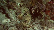 Harmless Epaulette Cat Shark Prowling Around Shallow Reef Bottom At Night