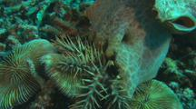 Triton snail hunting COTS Crown of Thorns Sea Star