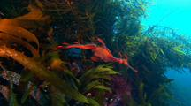 Leafy Seadragon cruising through Tall Kelp Forest