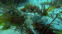 Draughtboard Shark, Swell Shark On Bottom