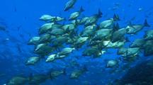 Sea Bream Schooling in crystal clear water
