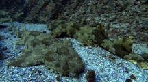 Wobbegong Carpet Shark
