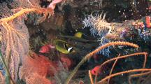 Racoon Butterflyfish Swims Amongst Soft Corals