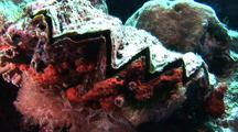 Zigzag Oyster On Reef