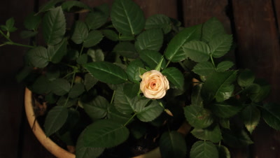 4k Timelapse of white pink rose growing on green leaves background