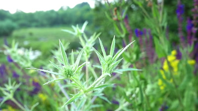 Details of Field eryngo or Eryngium campestre growing in a nature area slow motion
