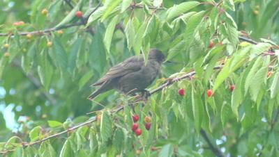 Common blackbird (Turdus merula) male eating red cherries of wild cherry tree (Prunus avium)